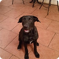 Labrador Retriever Mix Dog for adoption in Tucson, Arizona - Charlie/Courtesy Posting