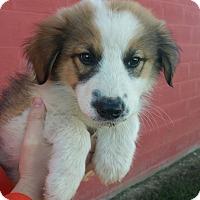Adopt A Pet :: Levi - Sparta, NJ