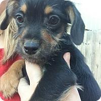 Terrier (Unknown Type, Medium)/Beagle Mix Puppy for adoption in Gadsden, Alabama - Cujo