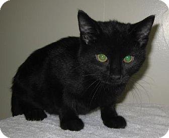 Domestic Shorthair Kitten for adoption in Gary, Indiana - Tigger