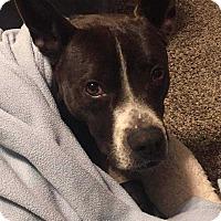 Adopt A Pet :: Rufus - Allen, TX