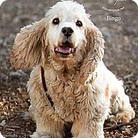 Adopt A Pet :: Bingo - Phoenix, AZ