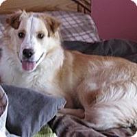 Adopt A Pet :: Patriot - Hamilton, ON