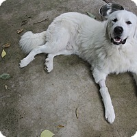 Adopt A Pet :: Pufnstuf - Austin, TX