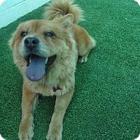 Adopt A Pet :: Kya - Sacramento, CA