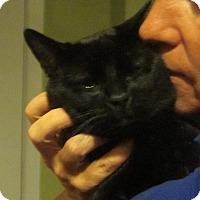 Adopt A Pet :: MICKEY- LAP KITTY'12 - New York, NY
