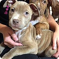 Adopt A Pet :: Dixie - Cincinnati, OH