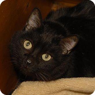 Domestic Shorthair Cat for adoption in Evans, Colorado - Kiki