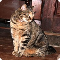 Domestic Shorthair Cat for adoption in Harrisonburg, Virginia - Squeaky