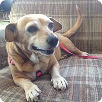 Adopt A Pet :: Daffodil (Laffy Daffy) - Glastonbury, CT