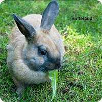 Adopt A Pet :: Buttercup - Vancouver, BC