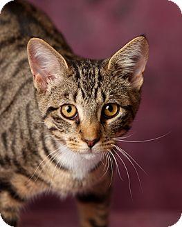 Domestic Shorthair Kitten for adoption in Harrisonburg, Virginia - Bradley
