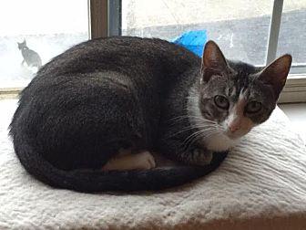 Domestic Shorthair Cat for adoption in Columbus, Ohio - Diamond