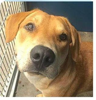 Labrador Retriever Mix Dog for adoption in Springdale, Arkansas - Rover