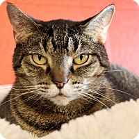 Domestic Shorthair Cat for adoption in Sarasota, Florida - Macey