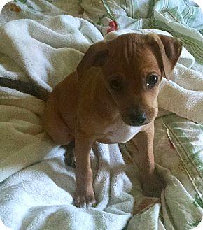 Chihuahua Mix Puppy for adoption in Savannah, Georgia - Hamachi