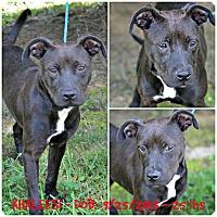 American Pit Bull Terrier/Labrador Retriever Mix Dog for adoption in Siler City, North Carolina - Khaleesi