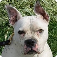 Adopt A Pet :: Bon Bon - Monroe, MI