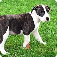 Adopt A Pet :: Blaze - Salem, OR