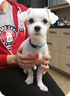 Maltese Mix Dog for adoption in Chicago, Illinois - Taffy 4