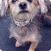 Adopt A Pet :: Patsy - Shorewood, IL