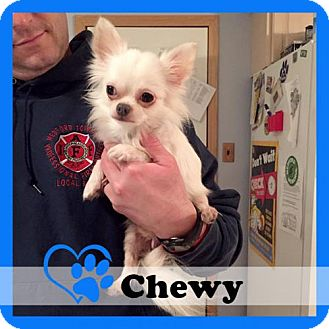 Chihuahua Dog for adoption in Medford, New Jersey - Chewy