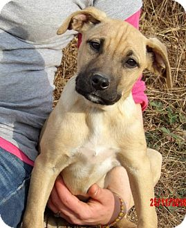 Great Dane/Shepherd (Unknown Type) Mix Puppy for adoption in Sussex, New Jersey - Teagan (14 lb) Pretty Pup!