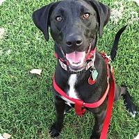Labrador Retriever Mix Dog for adoption in Mustang, Oklahoma - T-Spoon aka Macie