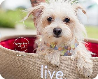 Poodle (Toy or Tea Cup)/Maltese Mix Dog for adoption in Inland Empire, California - LEONYA