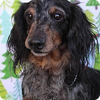 Adopt A Pet :: DODGER - Red Bluff, CA