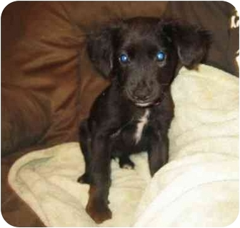 Spaniel (Unknown Type) Mix Puppy for adoption in Manalapan, New Jersey - Mango