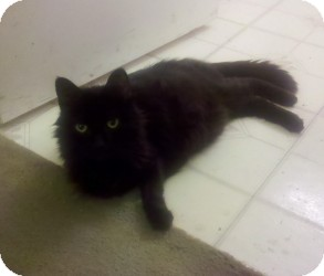 Domestic Mediumhair Cat for adoption in Sacramento, California - Obsidian