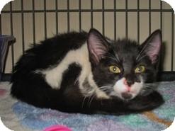Domestic Shorthair Kitten for adoption in Shelton, Washington - Tic