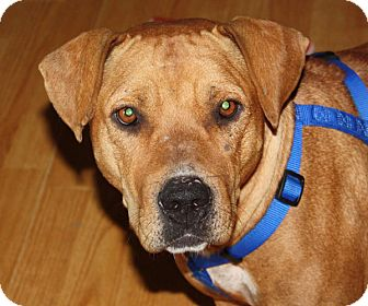 Labrador Retriever/Boxer Mix Dog for adoption in Marion, Arkansas - Addie