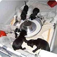 Adopt A Pet :: Katie & Puppies - Attica, NY