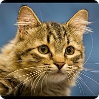 Adopt A Pet :: Mickey - Wickenburg, AZ
