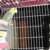 Adopt A Pet :: Murphy - Neenah, WI
