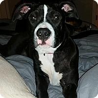 Adopt A Pet :: Zoey - Medina, OH