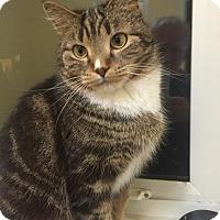 Adopt A Pet :: Whippet - Toronto, ON