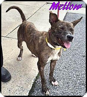 Plott Hound/Terrier (Unknown Type, Medium) Mix Dog for adoption in Ahoskie, North Carolina - Mellow