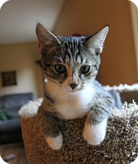Domestic Shorthair Kitten for adoption in Huntsville, Alabama - Cozmo