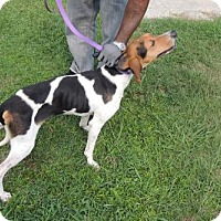 Coonhound Mix Dog for adoption in Chester, South Carolina - TENNESSEE C-16-1049