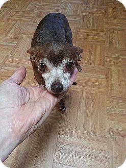Chihuahua Dog for adoption in Costa Mesa, California - Mack