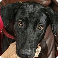 Adopt A Pet :: Nox - Saddle Brook, NJ
