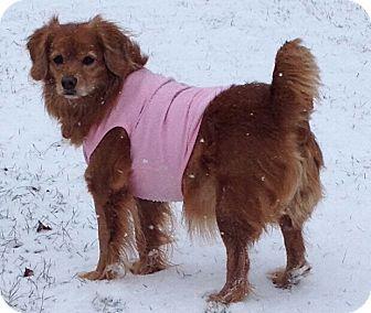 Cocker Spaniel Mix Dog for adoption in Concord, Ohio - Sadie