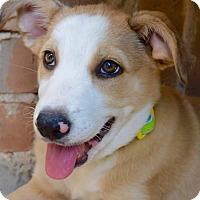 Adopt A Pet :: Cassidy - Aubrey, TX