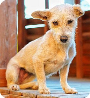 Terrier (Unknown Type, Small) Mix Dog for adoption in San Diego, California - YOSHIE