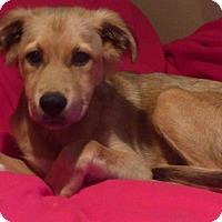 Adopt A Pet :: Sheba - Providence, RI