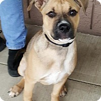 Pit Bull Terrier Mix Puppy for adoption in Hillsboro, New Hampshire - Goosie