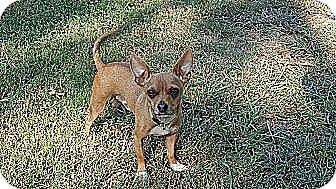 Chihuahua Mix Dog for adoption in Washington, D.C. - Ernie (200 adoption fee)